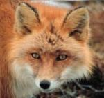 Daft-fox!